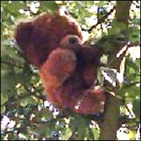A teddy bear hides up a tree