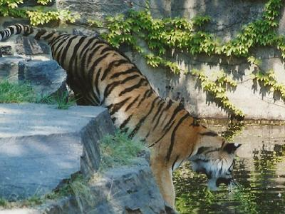 A tiger in water