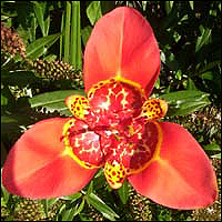 The Mexican Tiger Flower (Tigridia Pavonia).