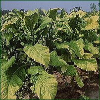 Tobacco leaves.