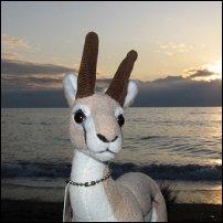 Bokkie enjoys a sunset in Denmark.