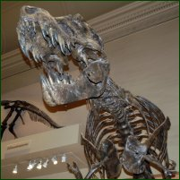 A Tyrannosaurus Rex skeleton from the National Museum of Natural History in Washington DC, USA.
