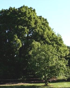 A Turner's Oak tree