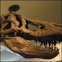 A Tyrannosaurus Rex skull.