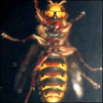 A wasp, a target for one of Sitwell's inventions.