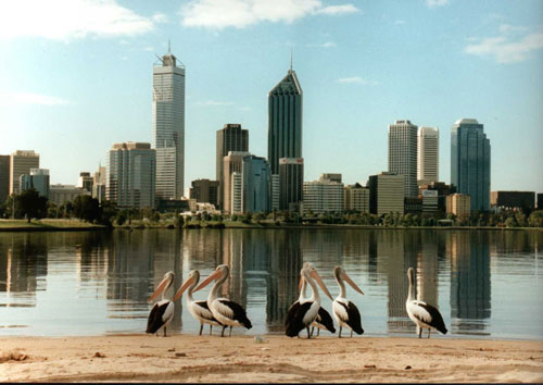 Pelicans on the riverbank in front of soaring skyscrapers.