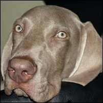 A Weimaraner dog called Max.