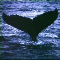 The tail fin of a humpback whale.