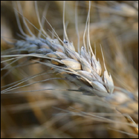 Ear of Wheat.