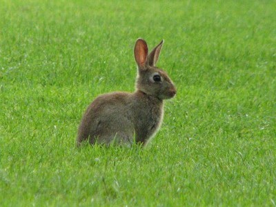 Wild rabbit in grass.