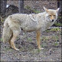 Grey wolf.