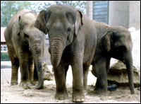 A group of elephants in a zoo.