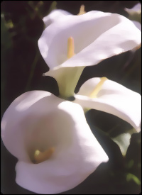 A Lily, symbol of mourning.